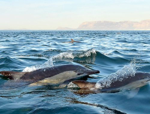 Dolphin Tours in Estepona.